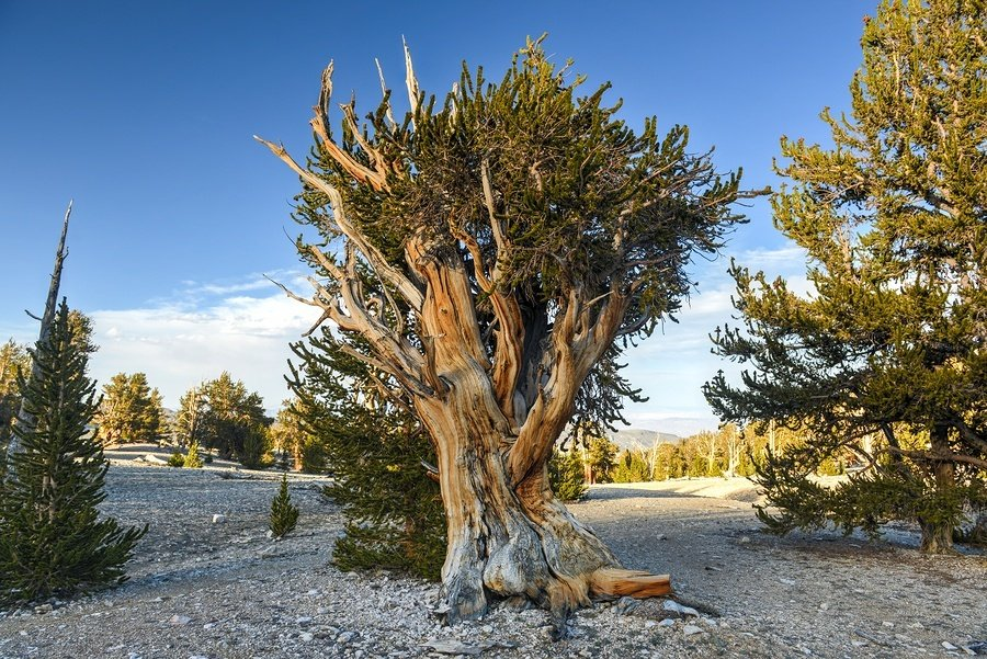Ancient Bristlecone Pine Forest a protected area high in the White Mountains in Inyo County in eastern California.