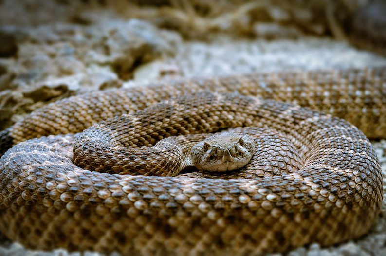Controversial 'Rattlesnake Gassing' Avoids Ban in Texas