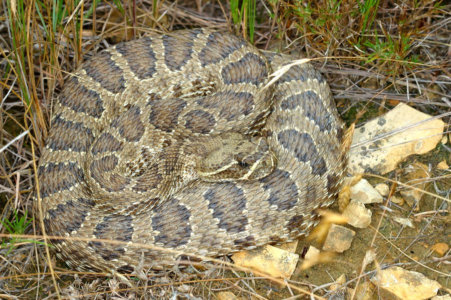 Prairie Rattlesnake (Crotalus viridis) in Badlands National Park of South Dakota.